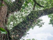 Edera sul grande albero nel parco Immagine Stock