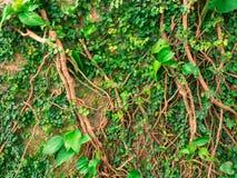 Edera sul grande albero nel parco Fotografia Stock Libera da Diritti