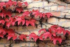 Edera sul muro di mattoni Fotografie Stock