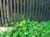 Edera sul recinto con ferro Fotografia Stock