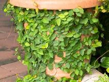 Edera sul vaso fatto di argilla nel parco Fotografie Stock Libere da Diritti