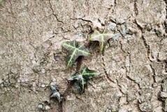 Edera sulla corteccia di albero Immagine Stock Libera da Diritti