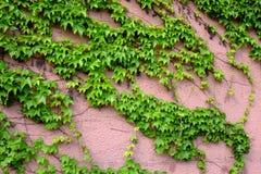 Edera sulla parete Fotografie Stock