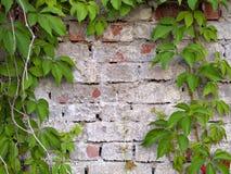 Edera sulla parete Fotografia Stock Libera da Diritti