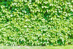 Edera sulla parete e sull'erba Fotografia Stock