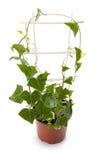 Edera in un vaso da fiori Fotografie Stock Libere da Diritti