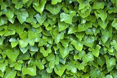 Edera verde Immagine Stock