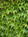 Edera verde Fotografie Stock