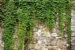 Edera verde Immagini Stock
