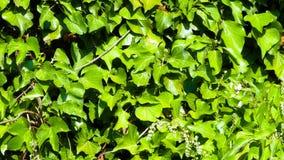 Edera verde come fondo Immagine Stock