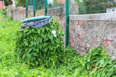 Edera verde completamente avvolta nel recipiente Vittorie della natura sopra tutto fotografia stock