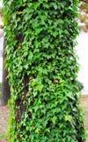 Edera verde di trascinamento che cresce la corteccia della copertura dell'albero Immagini Stock Libere da Diritti