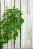 Edera verde e parete di legno Immagine Stock