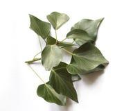 Edera verde isolata su bianco fotografia stock