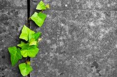 Edera verde nella priorità bassa di pietra incrinata Fotografia Stock Libera da Diritti