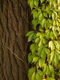 Edera verde su un albero Immagini Stock Libere da Diritti