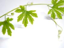 Edera verde su un fondo e su uno spazio bianchi fotografie stock libere da diritti