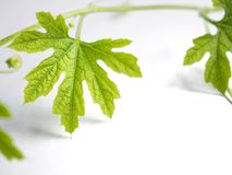 Edera verde su un fondo e su uno spazio bianchi fotografie stock