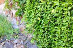 Edera verde sulla parete Immagine Stock