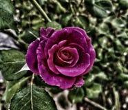 与美好的作用的美丽的玫瑰在庭院里 免版税库存照片
