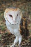 Edgar Barn Owl Immagini Stock