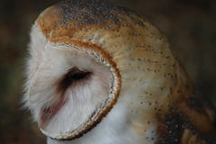 Edgar Barn Owl Immagine Stock