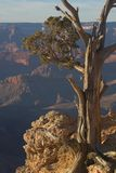 On the edge. Tree growing on edge of abyss, Grand Canyon Stock Images
