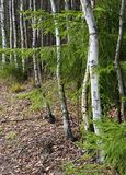 On the edge of a birch grove Stock Photography