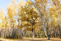 Edge of birch and oak forest in autumn Royalty Free Stock Photo