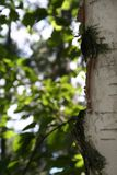 Edge of a birch tree Royalty Free Stock Photography