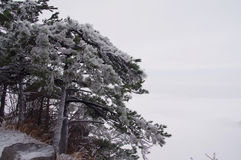 Cliff pine. The edge of the cliff pine Stock Photography