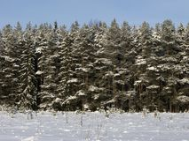 Edge of coniferous winter forest Royalty Free Stock Image
