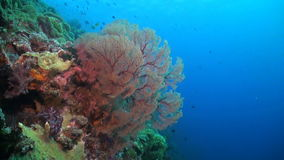 The edge of a coral reef. With huge colorful sea fans stock footage