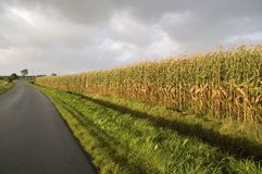 Edge of corn field. This picture shows the edge of a corn field in Northern Germany. The way leads directly to the farm stock photo