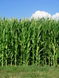 Edge of corn field stock photography