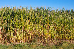 Edge of corn field. Side of corn field with a bright blue sky stock photos