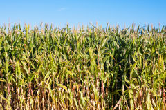 Edge of corn field. Side of corn field with a bright blue sky stock image