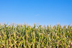 Edge of corn field. Side of corn field with a bright blue sky. Half sky and half field stock images