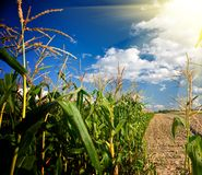 Edge of a corn field in the afternoon. Edge of a green corn field in the afternoon Royalty Free Stock Photos