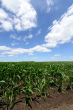 Edge of corn field. Bright blue sky and fluffy cloud Stock Images