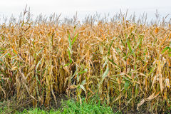 At the edge of a corn field Royalty Free Stock Image