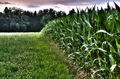 Edge of a corn field. With forest in background. Hdr image Royalty Free Stock Images