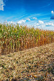 Edge of corn field in harvesting agricultural. Concept Stock Photos