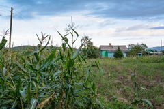 Edge of corn field and rural house. Royalty Free Stock Images