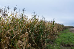 Edge of corn field with withered stems. Royalty Free Stock Photos
