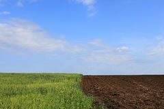Edge of field. Edge of wheat field under blue sky Royalty Free Stock Photo