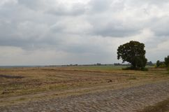 A large tree with a lot of green leaves grows near a cobblestone road. At the edge of the field grows a tree. Above the tree there are dense light gray clouds Stock Images