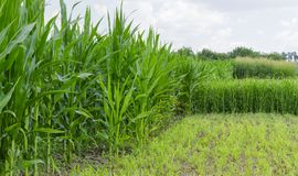 Plantation of the corn and sorghum. Edge of the field with plantations of the corn and sorghum are used as fodder plants royalty free stock images