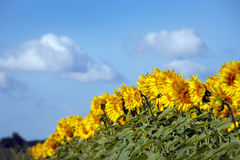 The edge of a field of sunflowers. On a background of blue sky Royalty Free Stock Image