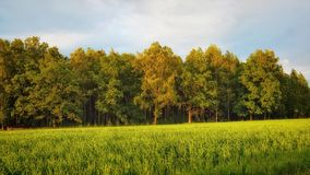 Edge of the forest along the field ... royalty free stock images